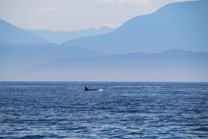killer whale olympics