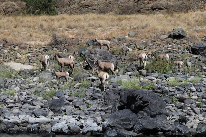 snake river bighorn sheep